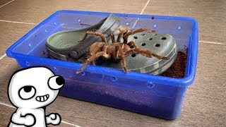 I put the TARANTULAs in SHOE BOXES [here's why] ..