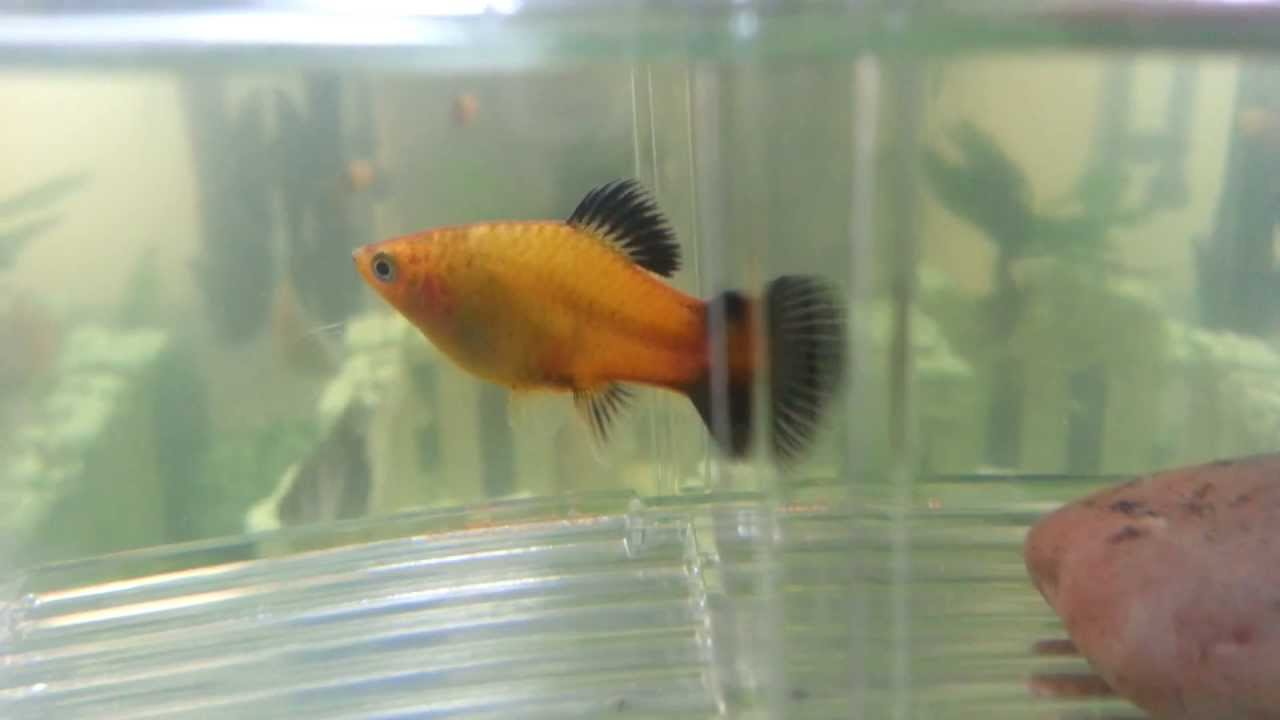 pregnant platy signs