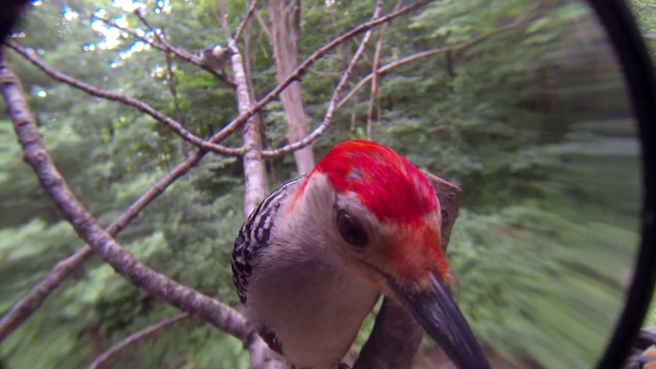 Red Lens Gopro Red Bellied Woodpecker Gopro