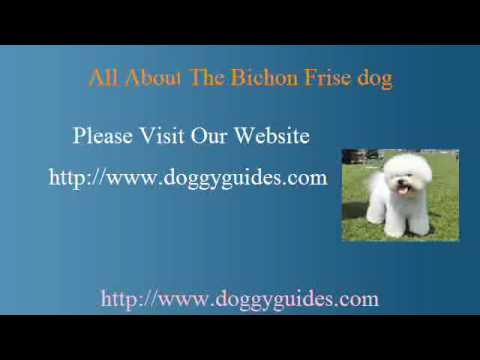 Bichon Frise Dogs Are They Suitable For Your Household? Video