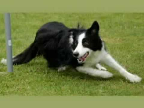 Border Collie ... Agility