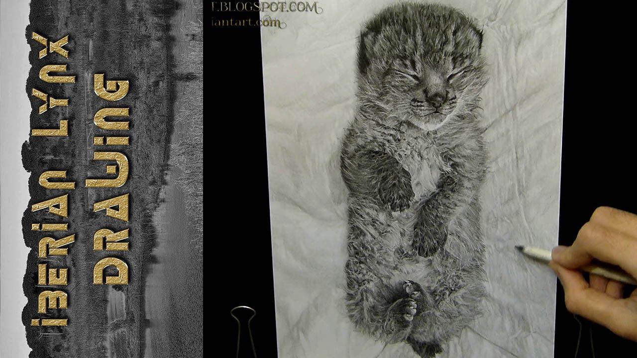 Iberian Lynx Drawing Iberian Lynx Drawing Lince