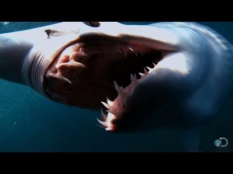 The Fastest Shark in the Ocean | Top 10 Sharkdown - Shark Week 2013