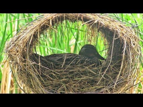 Гнезда для уток и гусей