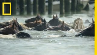 Watch Famous Ponies Swim in Chincoteague Island Tradition | National Geographic
