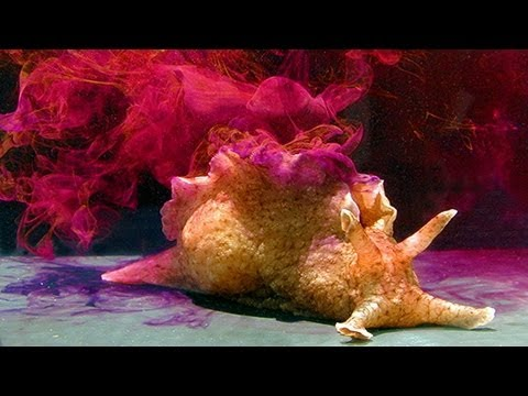 SEA HARE BIOWEAPONS - A Colorfully Sticky Defense