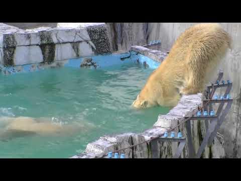 ホッキョクグマのダイブ(円山動物園)