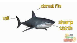 SHARKS  Animals for Preschool learning children  Kids videos  Kindergarten