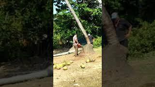 Cưa  dừa  và  cái  kết $