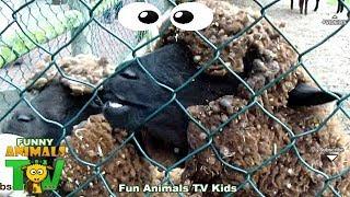 Ovelhas Choné na Quinta dos Animais - Farm animals video for kids