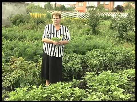 Как сажать семена горчицы для оздоровления огорода 41