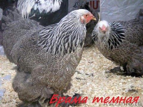 Домашнее хозяйство Мясные породы кур с фото и названием