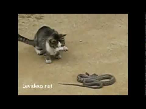 INCREBLE!!! GATO ATACA Y MATA A UNA SERPIENTE!!!