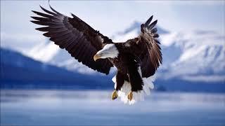 TIRUKAN! Suara Kicau Burung Elang Mencari Mangsa | Accipitridae