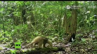 Un oso hormiguero se defiende de un halcón blanco