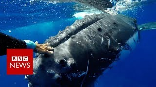 Whale 'saves' biologist from shark - BBC News