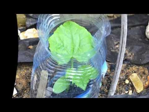 Технология выращивания огурцов в открытом грунте – микро-теплица своими руками: мой способ