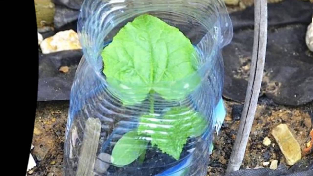 Выращивание огурцов в бутылках 587