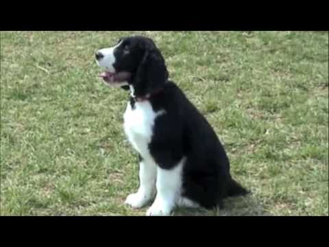 English Springer Spaniel puppy Video