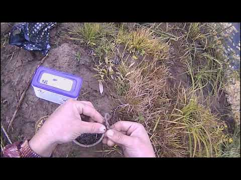 ловля крупного налима осенью видео