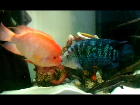 Red devil vs jack dempsey youtube for Jack dempsey fish