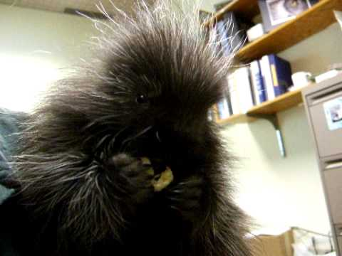 Baby Porcupine Eats A Banana and Has Hiccups! Video