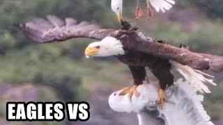 Eagle Attacks!   (Real or Fake?) Bald Eagle, Golden Eagle Falcon