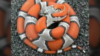 MP4 720p Worlds 50 Beautiful largest snake in the world   Poisonous animals snakes the world   You…