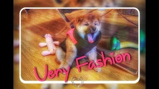 My life is potato. Ep 24 / Shiba Inu puppies