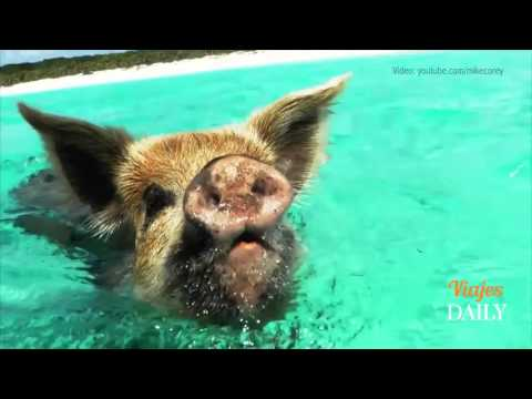 Marranitos salvajes nadando en Las Bahamas