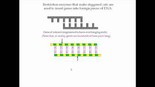 Restriction Enzymes Pt 2