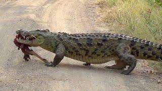 Huge Crocodile Dragging Kill Over the Road