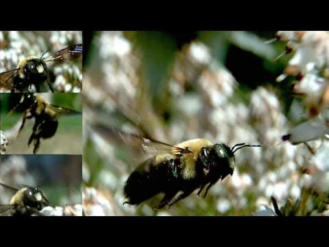 Slow motion Bee in flight  (UltraSlo HD)