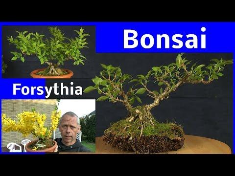 Bonsai auf dem Stein Forsythia. Rock Bonsai