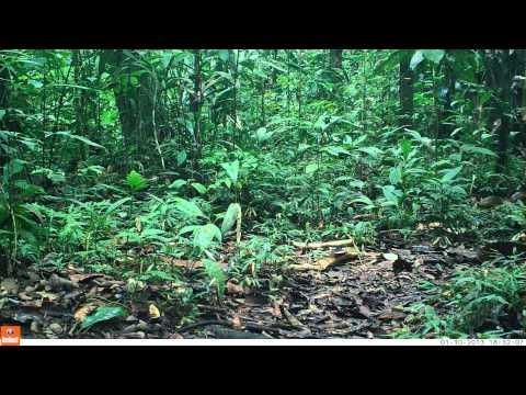 Yasuni Trap Camera: Brazilian Tapir (Tapirus terrestris)