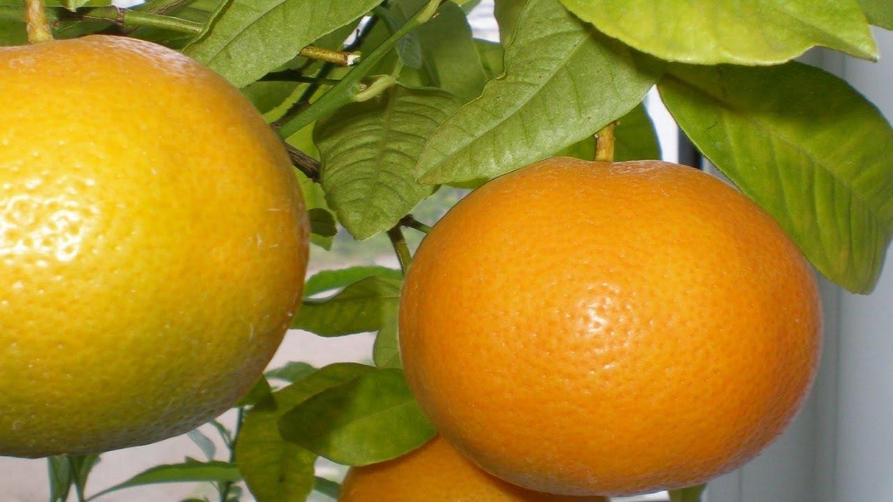 Выращивание апельсина дома 27