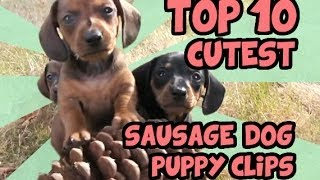TOP 10 DACHSHUND PUPPY VIDEOS OF ALL TIME