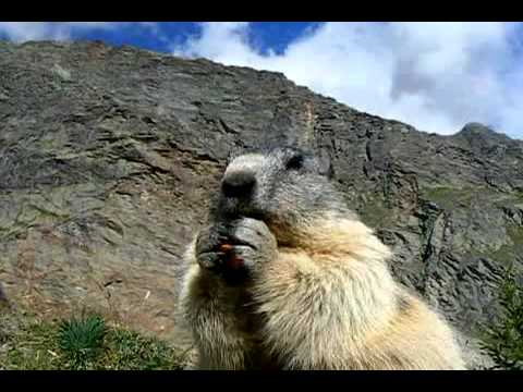 Swiss alpine marmot enjyoing a carrot
