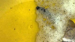 Cá cha chăm sóc trứng và cá con Lia Thia - Cần lưu ý những gì? | BETTA COFFY