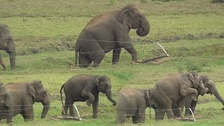 Herd of Wild elephants breaking an Electric fence !