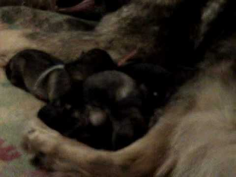Alsatians 2 days old