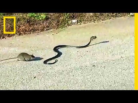 母は強し!我が子をさらう天敵の蛇に立ち向かう母ネズミがカッコイイ!