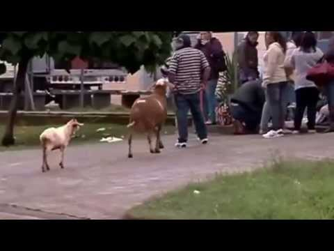 An angry British man dubbed to an angry goat