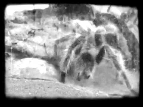 Tarantula Web Tarantula Building Web