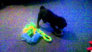Cosmo pug puppy playing