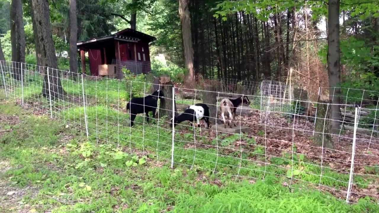 Goats Enjoying Their New Run Thanks To Our Electric Net