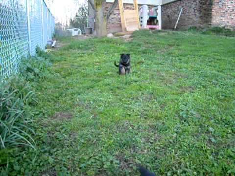 Deja and Aram's German Shepherd Puppies for sale in Lyndonville, NY