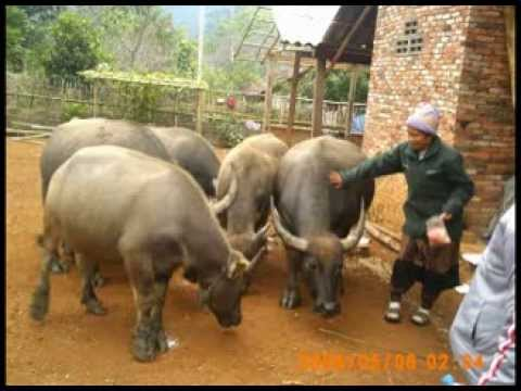Mixed livestock, crops and forages case study (Khamu) -- Ms Bounthon