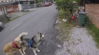 Funny Husky Chase Bird But Can't See The Cat