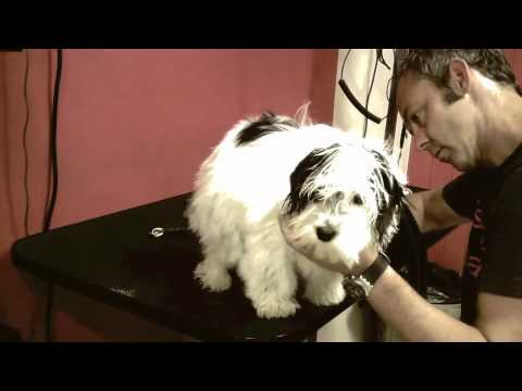 alfie the havanese groomed @ bishops bark London